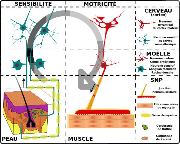 réflexologie système nerveux